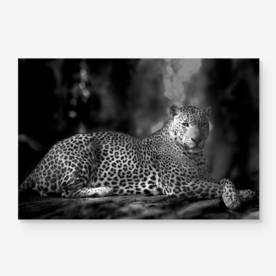 B&W leopard portrait in the jungle