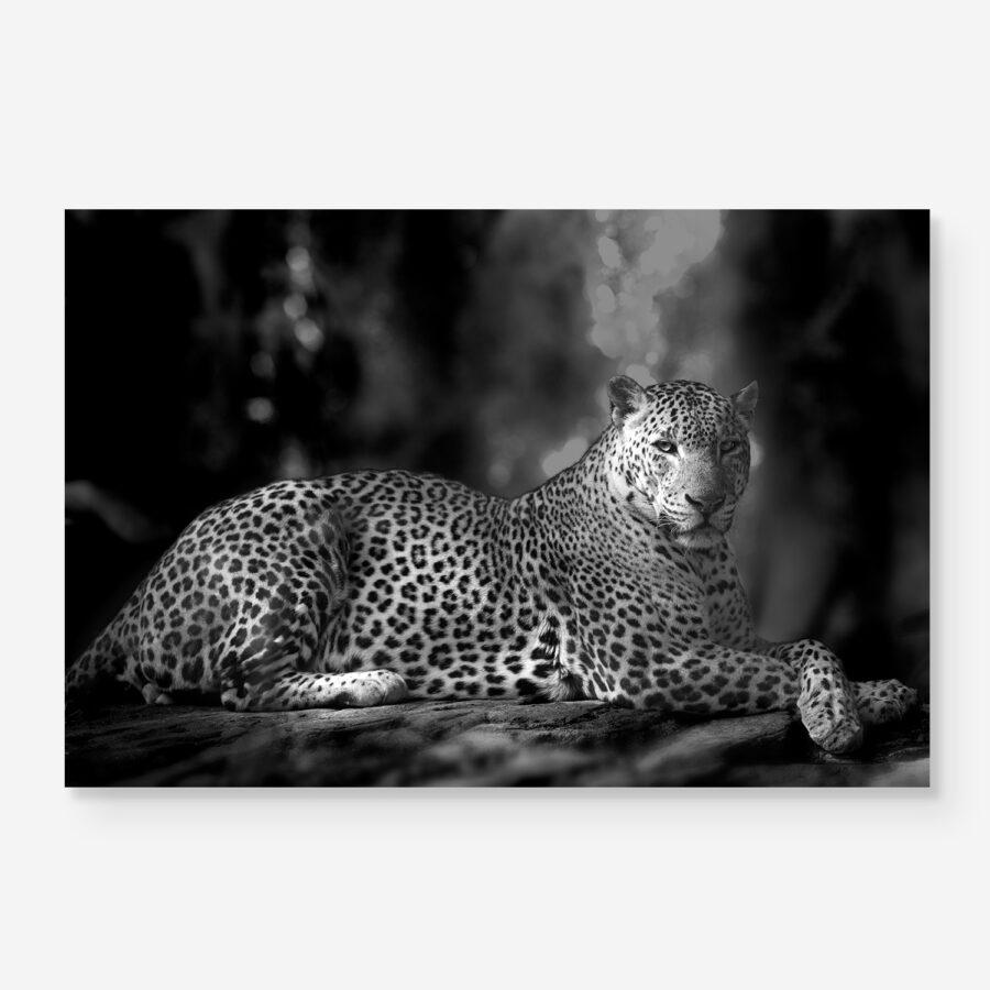 B&W leopard portrait in the jungle