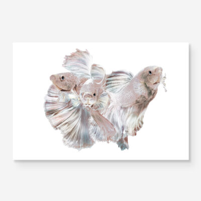 beta fish in pearl color