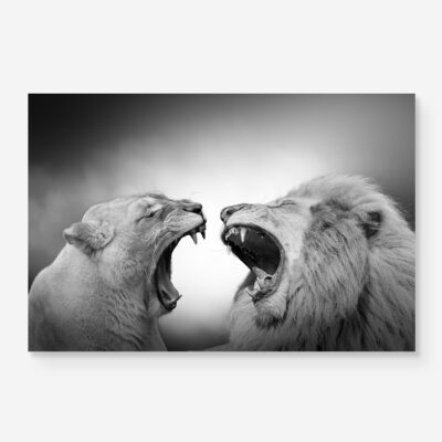 lion and lioness roar