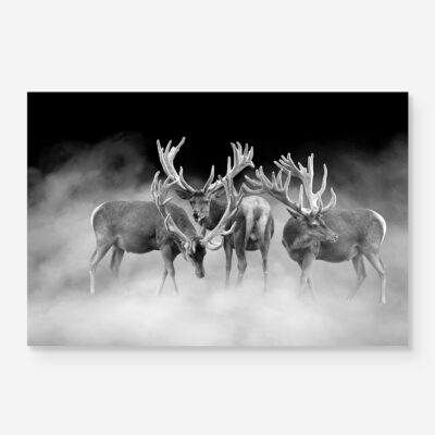 Three stags in Black and White